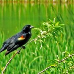 Red-winged blackbird close