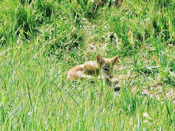 How-cute-is-this-baby-Coyote
