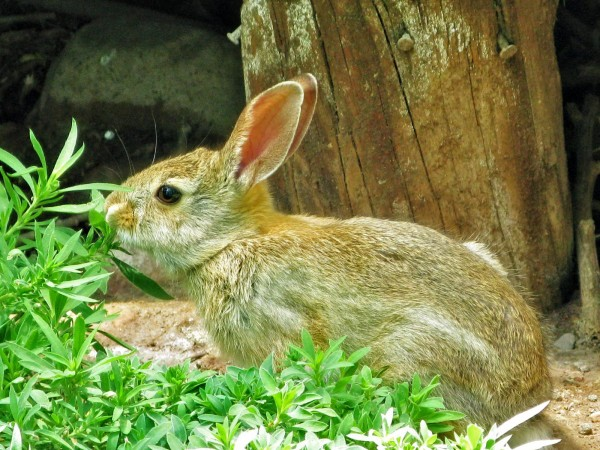 Nomnom-hungry-bunny